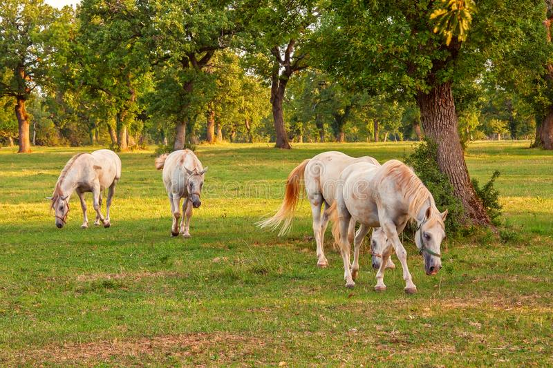 Horses grazing in the forest under oaks, summertime outdoor theme royalty free stock image