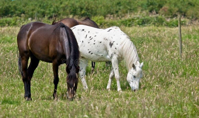 Horses grazing in green field stock photos