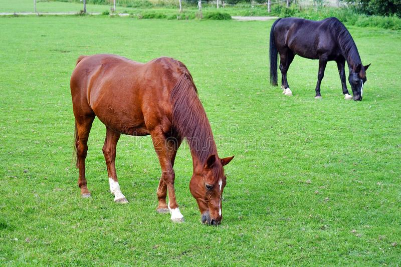 A horses is grazing in a green field stock images