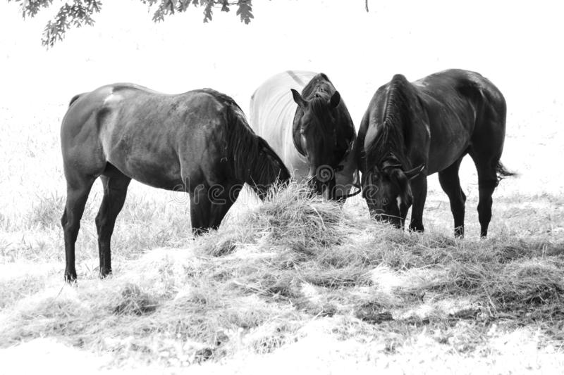 Horses Grazing on Hay in the Shade royalty free stock photos