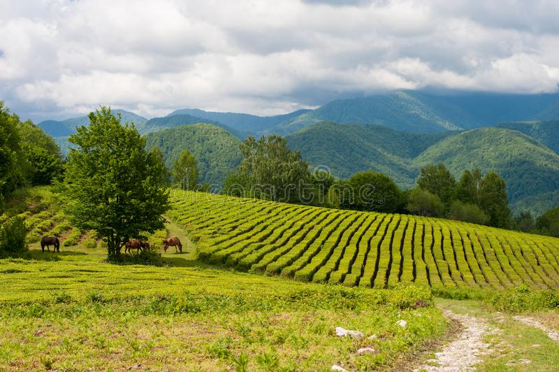 Horses grazing in the high mountain tea plantation royalty free stock image