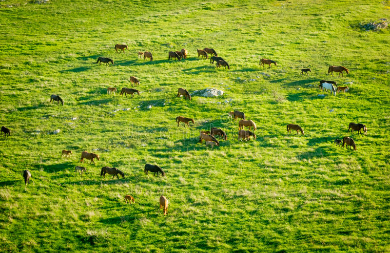 Download Horses grazing in a meadow stock photo. Image of wild - 36652946