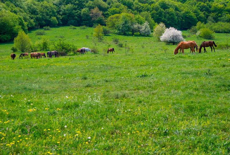 Download Horses grazing in a meadow stock photo. Image of field - 36823358