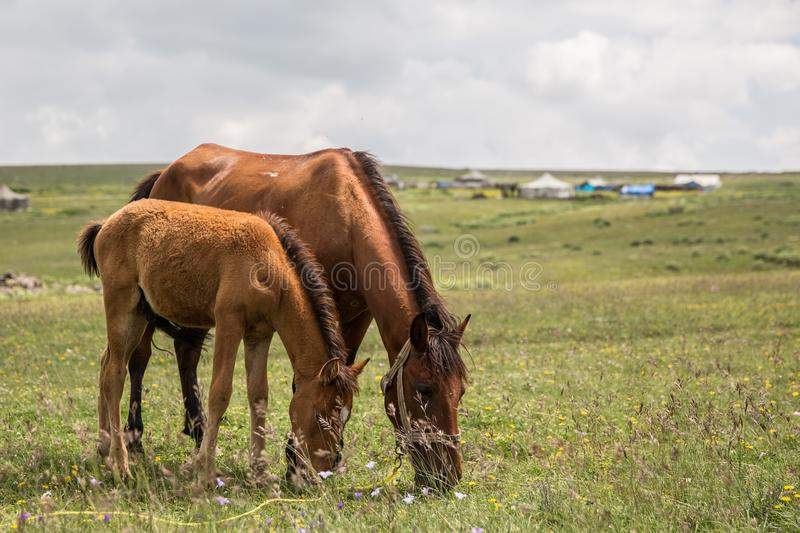 Horses Grazing Mountain Meadow. Horses Grazing at natural Mountain Meadow royalty free stock photography