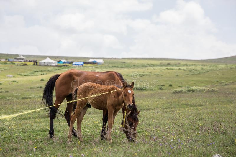 Horses Grazing Mountain Meadow. Horses Grazing at natural Mountain Meadow stock image