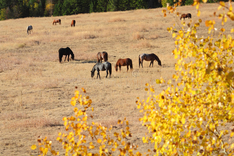 Horses Grazing, Nicola Valley, British Columbia. Horses graze on a hillside in the autumn sunshine. Nicola Valley, British Columbia, Canada stock photos