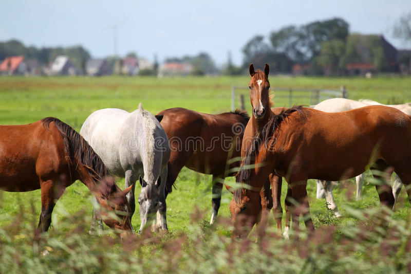Horses grazing on a pasture royalty free stock image
