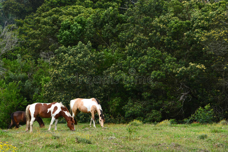 Horses grazing on pasture royalty free stock images