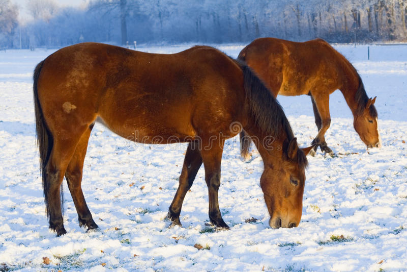 Download Horses Grazing Through Snow Stock Image - Image of frozen, snow: 11843773