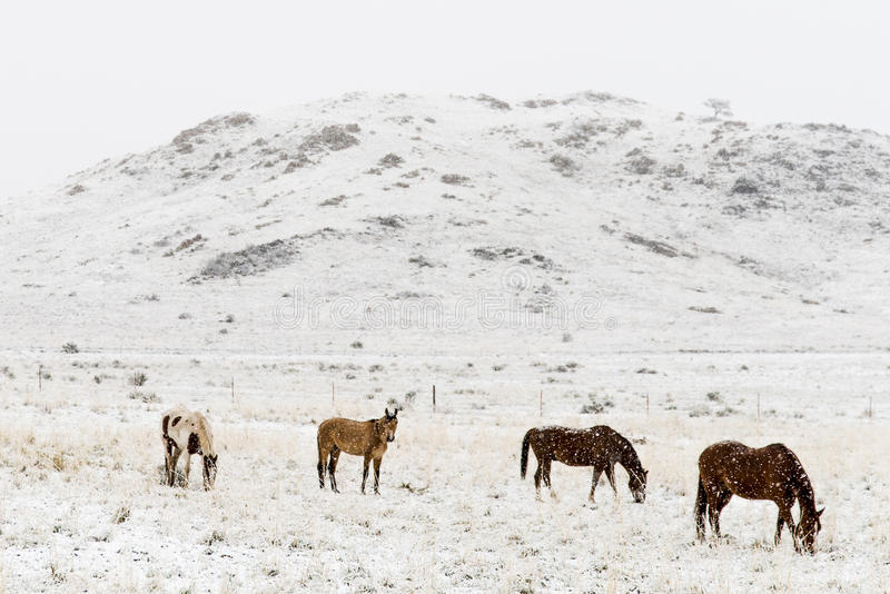 Horses grazing in winter snow colorado rocky mountains royalty free stock images