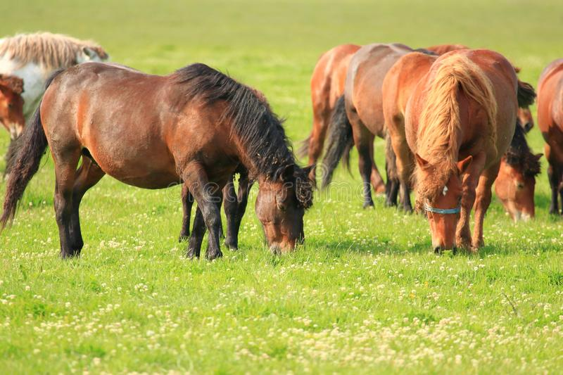 Horses on green meadow in pasture stock photography