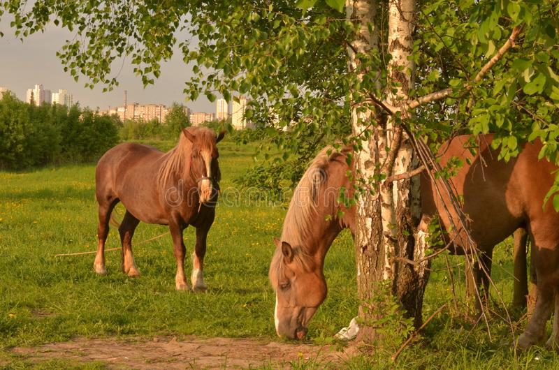 Horses on green pasture. Farming photo.Beautiful red horses in the summer field. Animal on nature background, during sunset stock photography