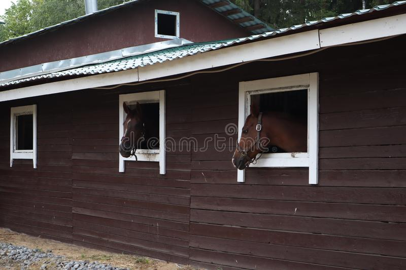 Horses with the head outside of the stable. Head of horse looking over the stable window. brown horses on the farm look out of the stock photo