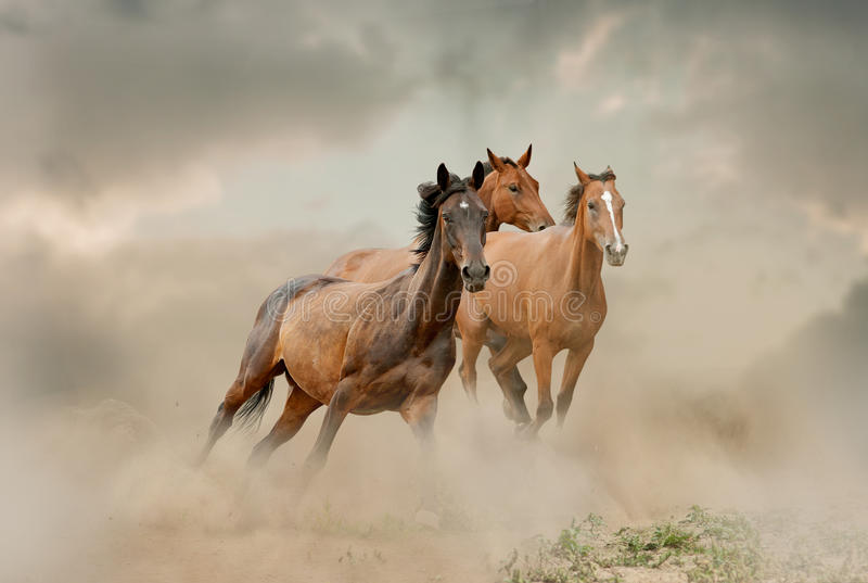 Horses herd in dust royalty free stock photography
