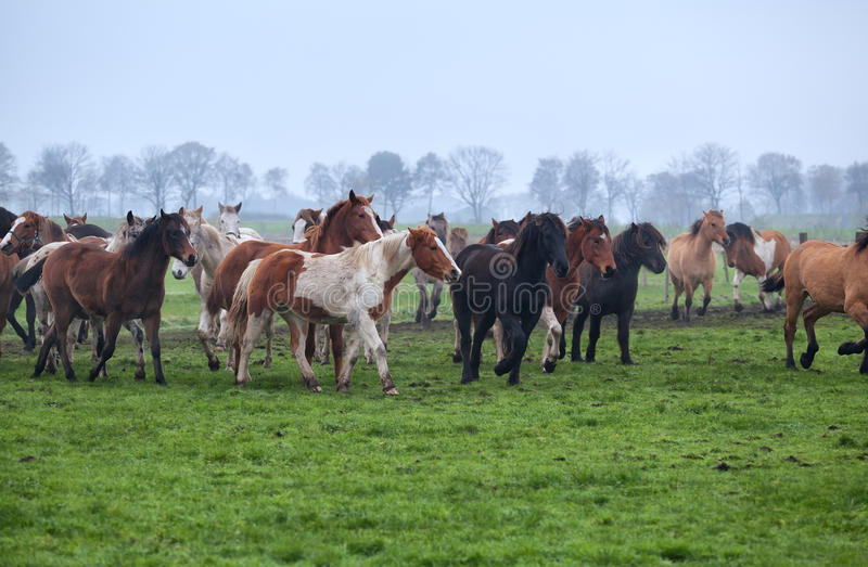 Horses herd on misty pasture royalty free stock photo