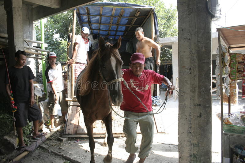 Horses and horse handler In Solo. Man named Mas No. brought horses to transport the carriage belongs to the President, Joko Widodo royalty free stock photography