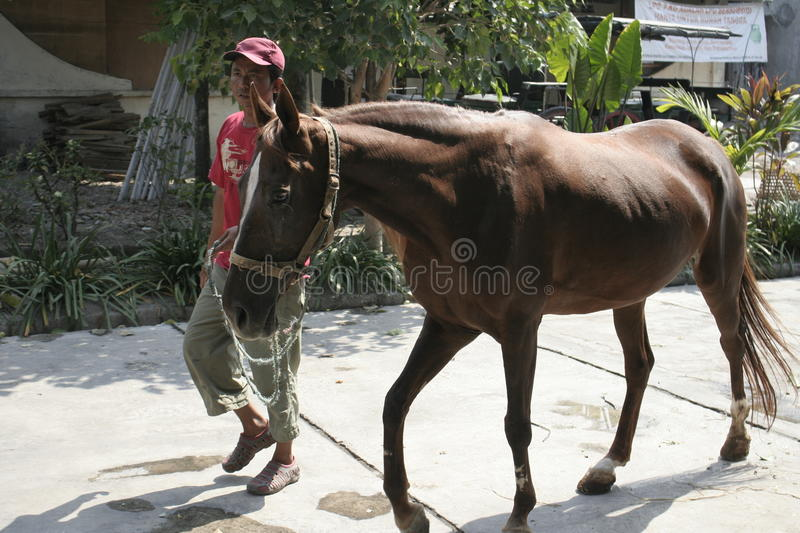 Horses and horse handler In Solo. Man named Mas No. brought horses to transport the carriage belongs to the President, Joko Widodo stock images