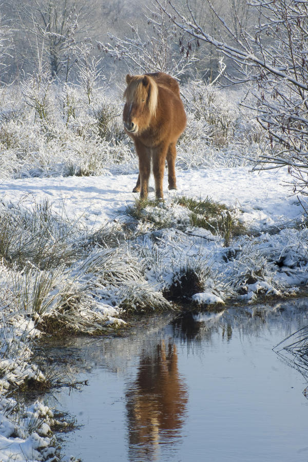 Free Horses In The Snow Stock Photography - 12555352