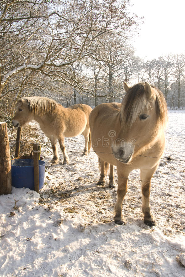 Free Horses In The Snow Royalty Free Stock Photo - 12824545