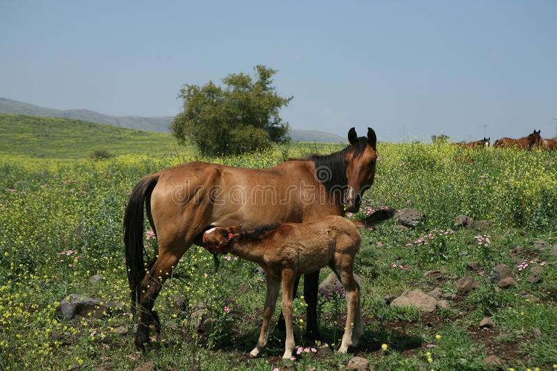 Horses at Israel fields royalty free stock image
