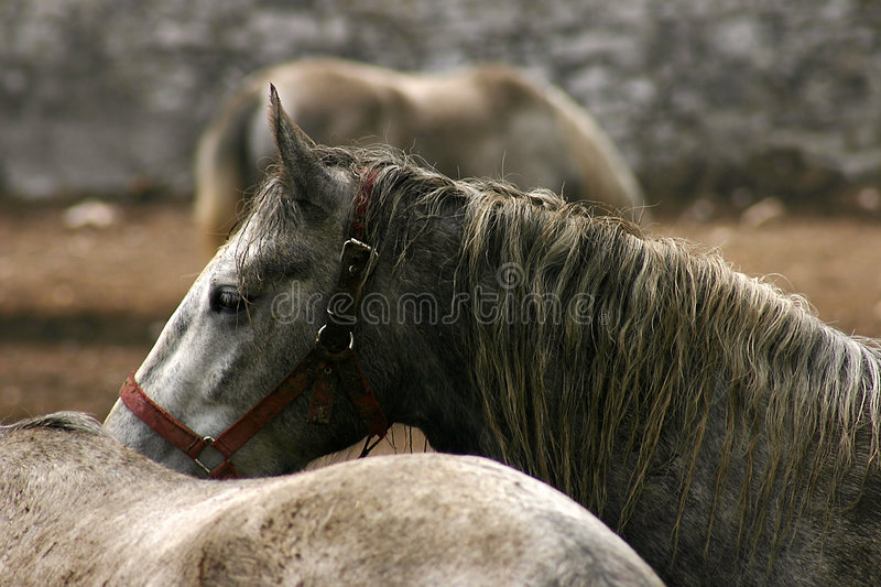 Horses in Lipica stock photography