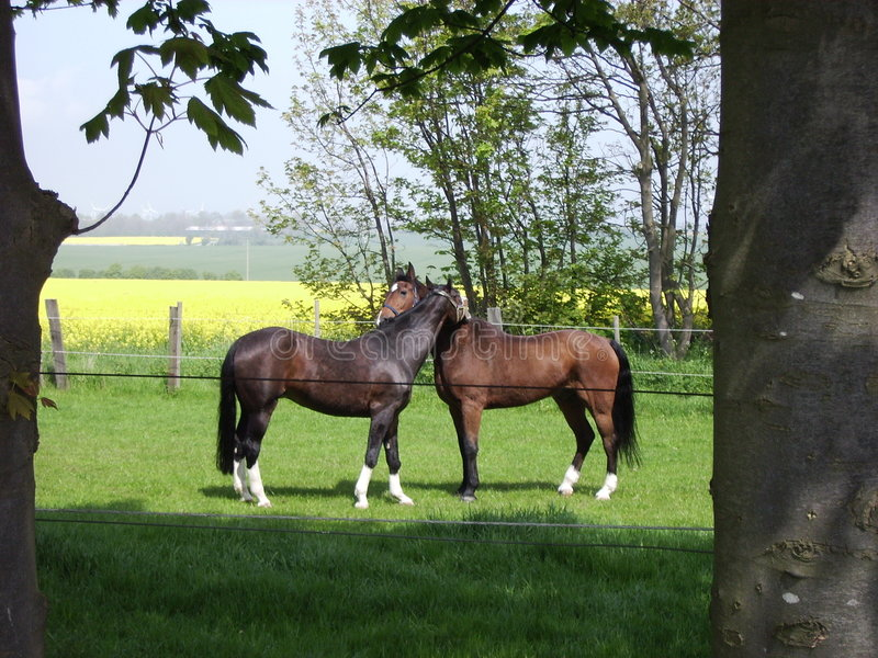 Horses in love. I was standing there, watching the horses eating grass, when one of them walked over to the other and did something that looked like embracing stock image