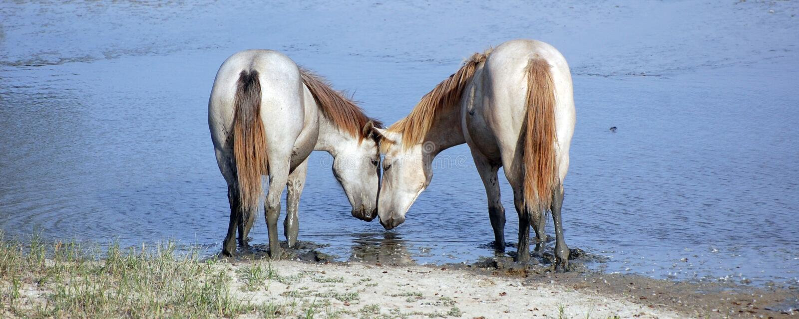 Horses in love royalty free stock photos