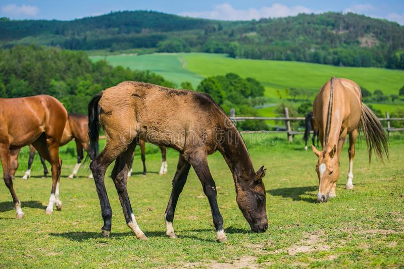 Horses, mares and their foals, grazing on green grass in a pasture royalty free stock photo