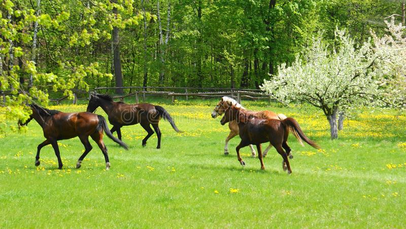 Horses On Meadow Free Stock Photo