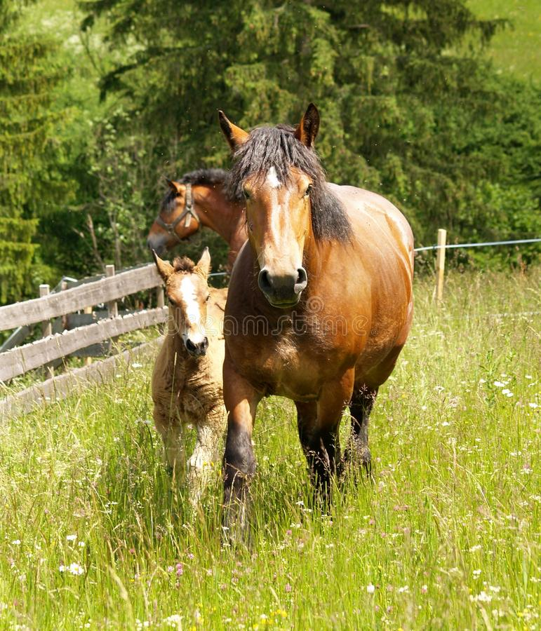 Horses on the meadow royalty free stock image