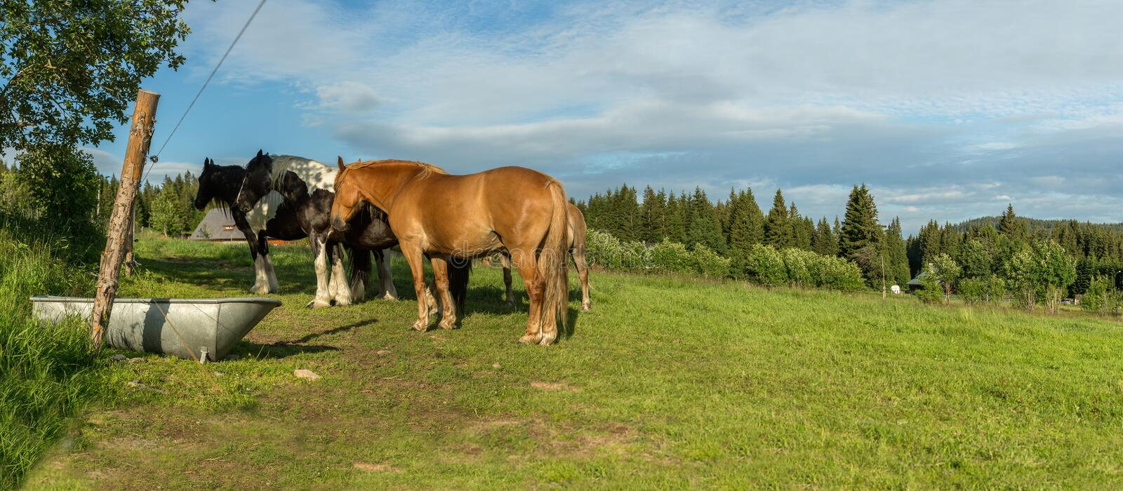 Horses in a meadow in the Sumava, South Bohemia, Czech Republic. A group of horses in a meadow in the Sumava, panoramic view of the countryside at Pilipova Hut stock images