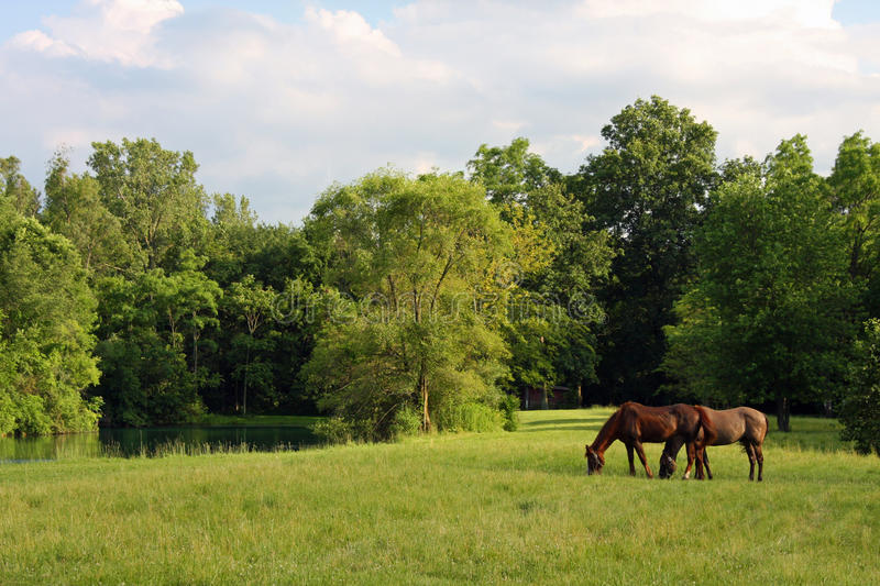 Horses in a Meadow. Two horses in a green meadow area royalty free stock images