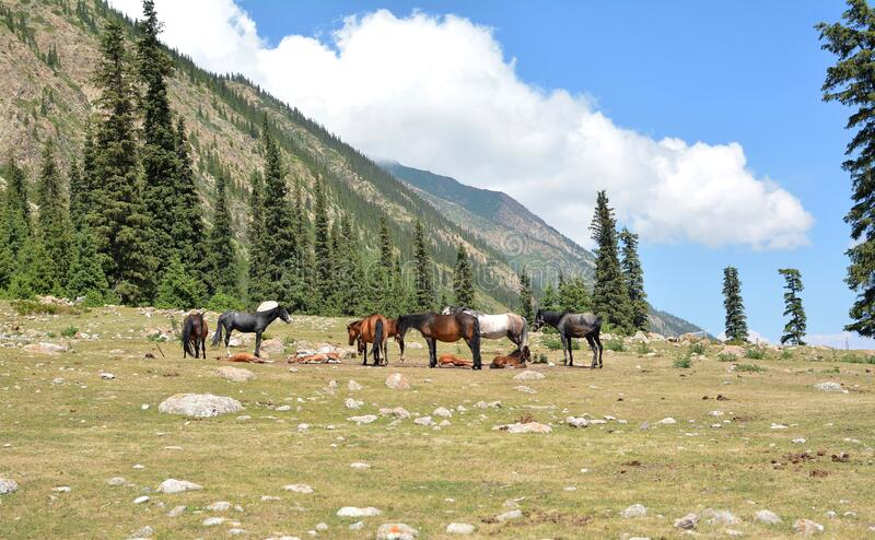 Horses in the mountains of Kyrgyzstan. Beautiful nature in the gorge. stock photo