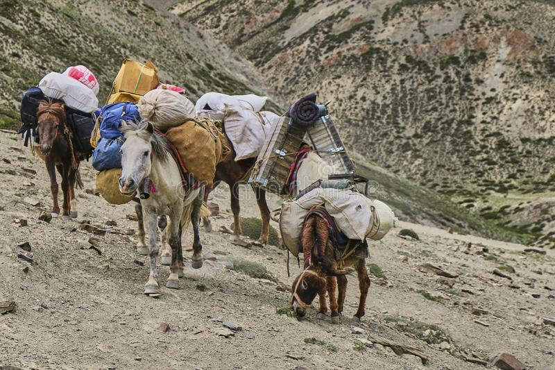 Horses and mules carrying heavy goods to steep rocky slope in Himalaya mountains, Ladakh, India stock images