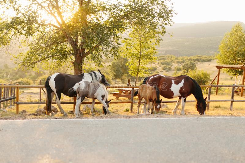 Horses in nature near the road at sunset. family of horse mare filly and foal. Horses family resting and grazing. Free animals. Horses in nature near the road at stock images