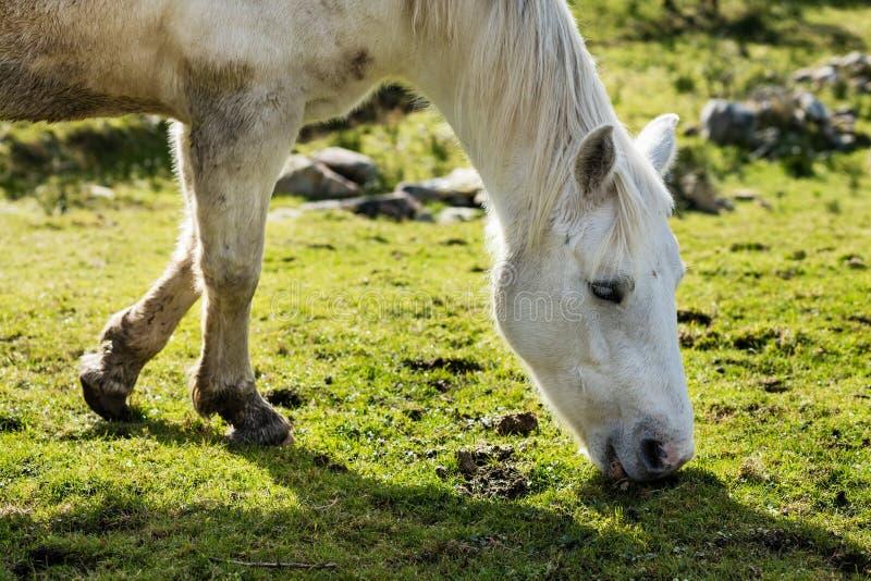 Horses near Connemara National Park, Co. Galway, Ireland royalty free stock photos
