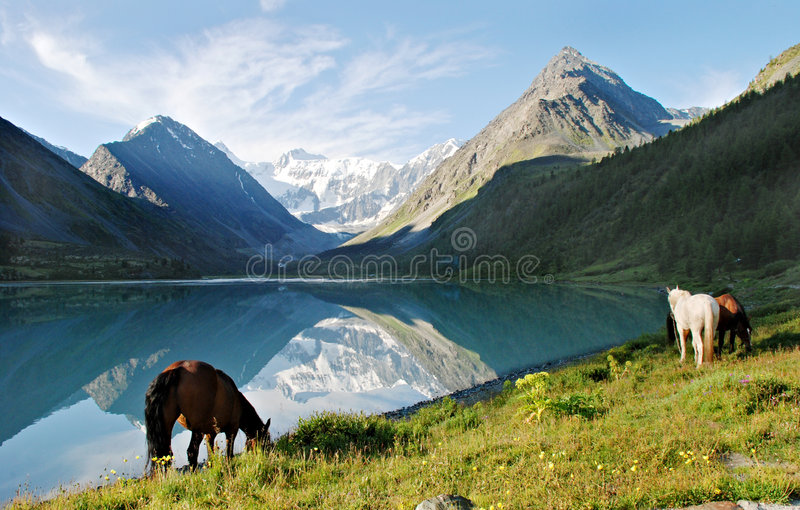 Download Horses Near Mountain Lake Ak-kem Stock Image - Image: 8213925