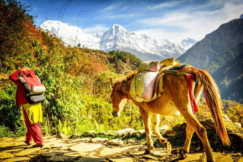 Horses in Nepal stock photos