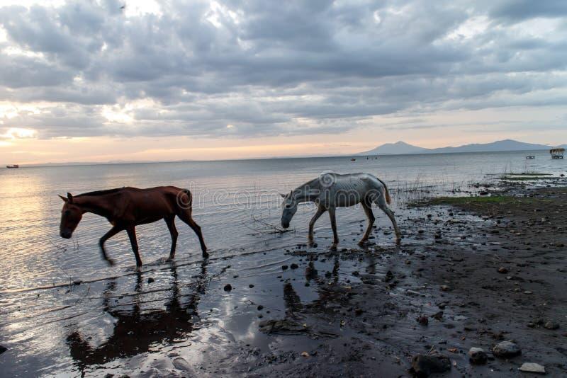 Horses in Nicaragua lake at sunset stock photo