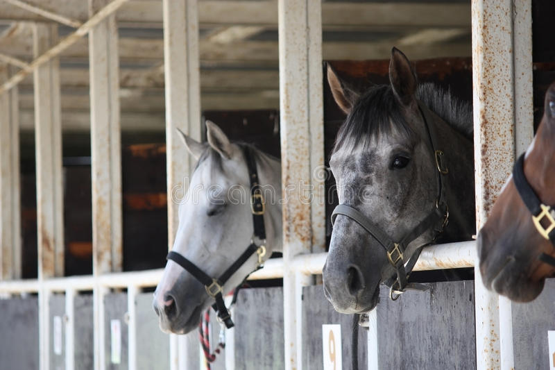 Horses in old stable royalty free stock photography