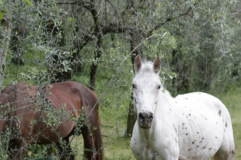 Horses at the olive grove royalty free stock photography