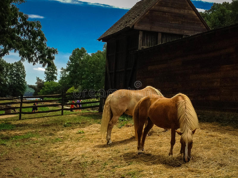 Horses in paddock at farm on Historic Mount Vernon Estate in Virginia. Two horses graze on hay on the farm at Historic Mount Vernon. The barn, blue sky, and royalty free stock photography