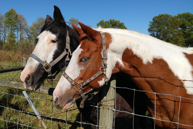 Horses in paddock stock image