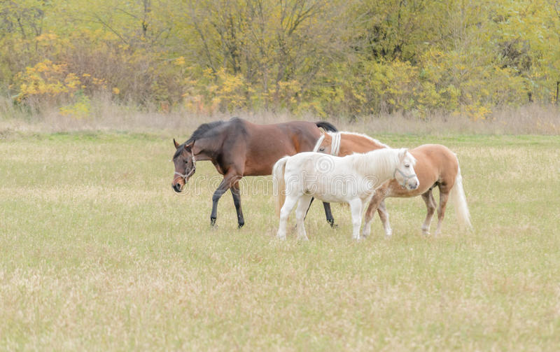 Horses on pasture. In the afternoon royalty free stock photography