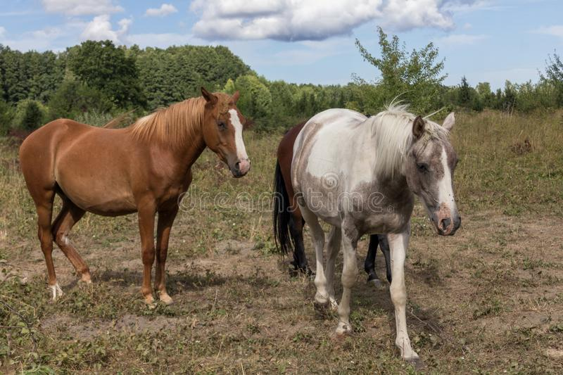 Horses on the pasture land. Two horses walking on the pasture land, third behind them royalty free stock photography