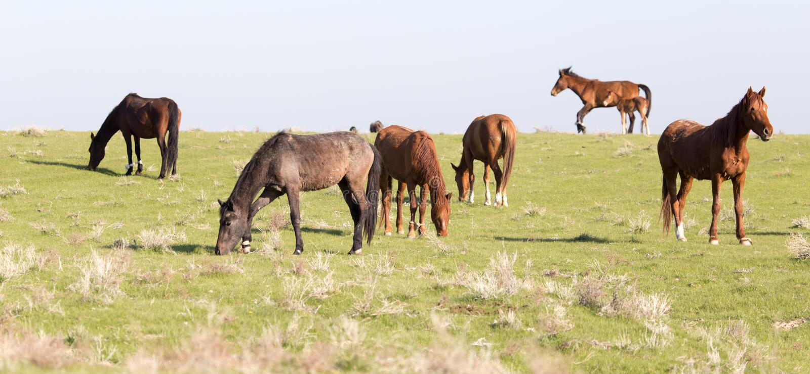 Horses in pasture on nature royalty free stock images