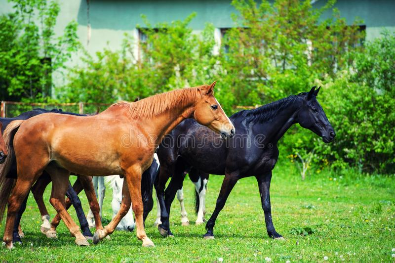 horses in the pasture near the house stock photography