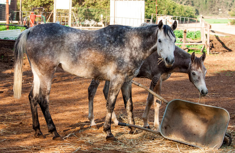 Download Horses stock image. Image of fauna, food, crest, equine - 33297931