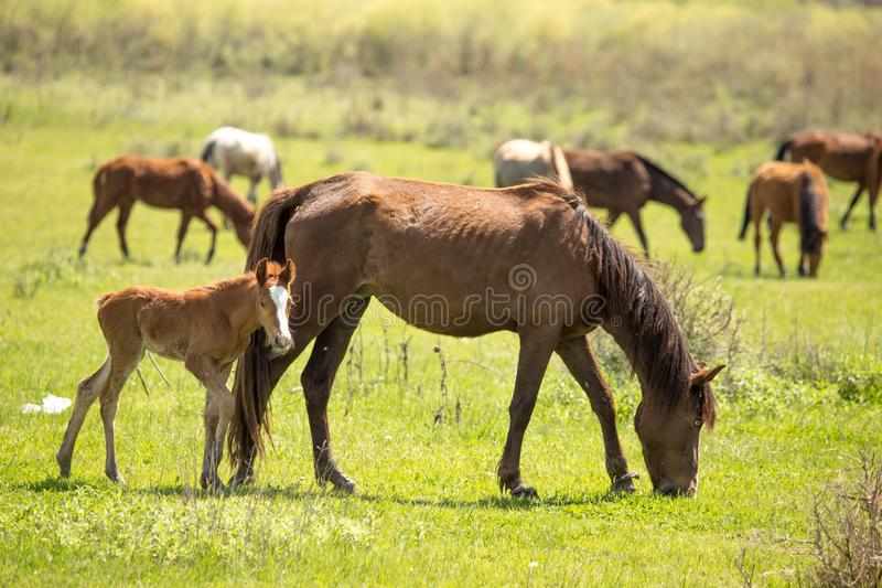 Horses in the pasture in the spring stock photography
