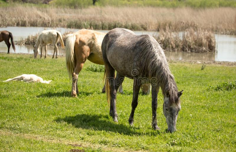 Horses in the pasture in the spring royalty free stock photography